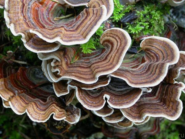 Трамета - грибы для иммунитета